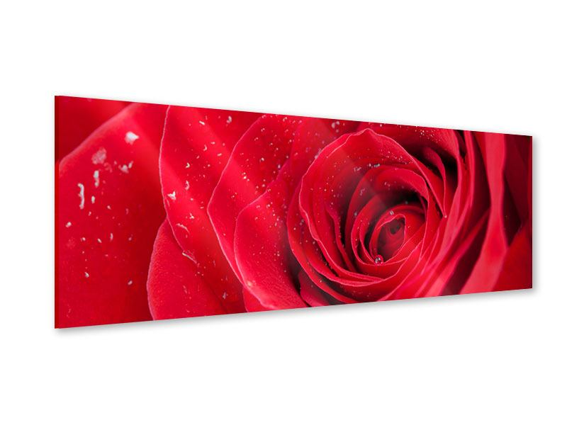 Panoramic Acrylic Print Red Rose In Morning Dew